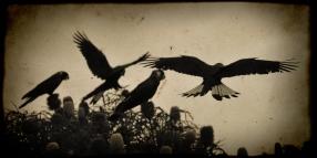 Carnaby's Black Cockatoos
