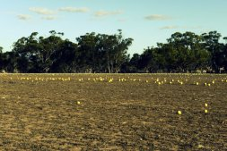 Paddymelons invade a dry paddock