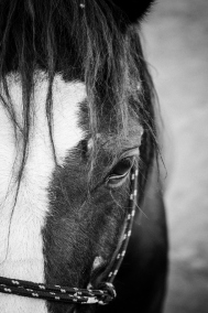 Marlin | Portrait of a Horse