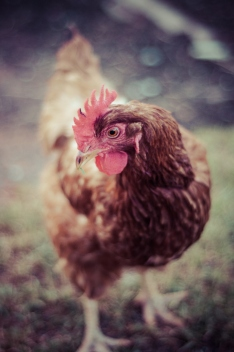 'Julia Gillard' the feisty, red-feathered chicken.