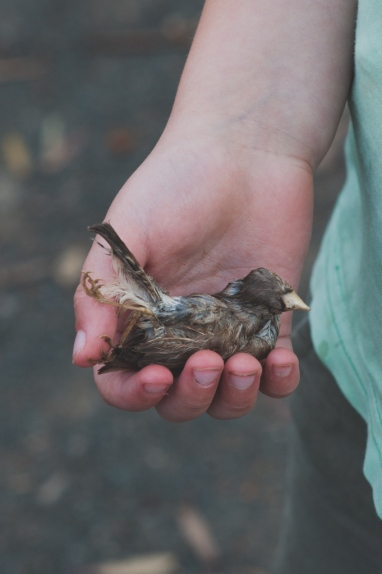 Life & Death | A tiny honeyeater found after an untimely demise skewered to a Date Palm spike.